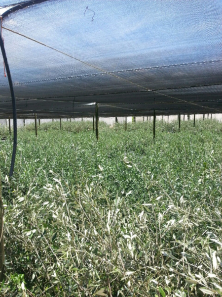Olive Trees Nursery Special Only R60 R250