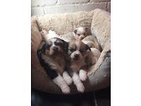 Chuiwaua puppy's