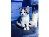 Tabby male kitten