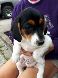 Collie x heeler pups in brantford