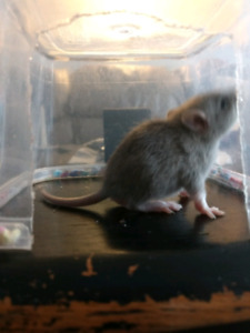 7 baby rats ready to forever homes