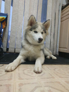 Siberian Husky Puppy For New Home