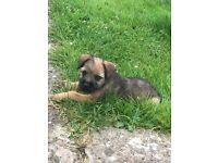 Border terrier pup