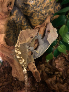 Crested Gecko mated pair