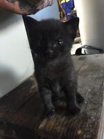 Very cute charcoal colored male kitten, ready for a new home