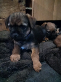 Border terrier puppies ALL SOLD