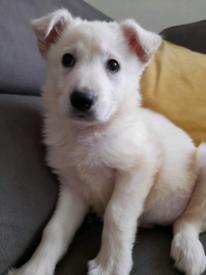 Pure White German shepherd Puppies