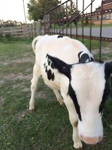 Holstein steer for sale  Peterborough Peterborough Area image 5