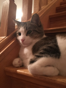 Phader - Lost Male Cat - Grey and White Shorthair