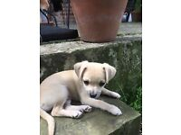 Last little boy chihuahua from litter for sale
