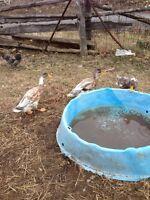 Male Runner Ducks for sale