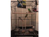 Male and female grass parakeets with cage