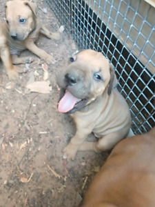 Darwin Region, NT | Dogs & Puppies | Gumtree Australia Free