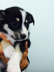 CHIHUAHUA TERRIER MIX PUPPIES!!