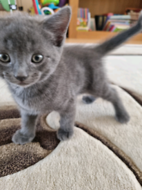 British shorthair & ginger mixed kittens for sale