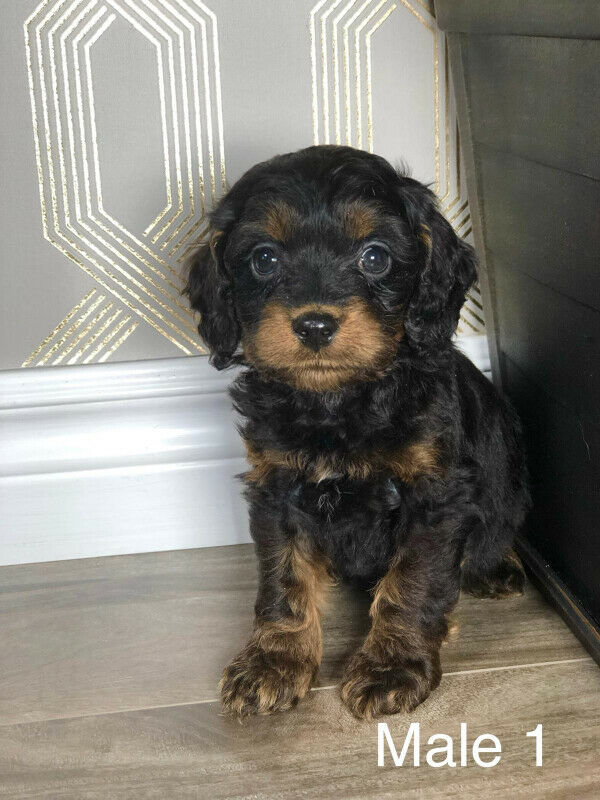 Gorgeous Red, and one brown black Cockapoo Puppies for Sale