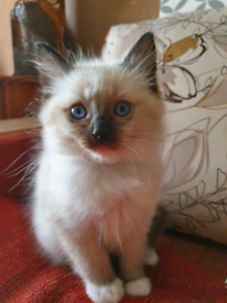 SOLD Ragdoll, kitten boy