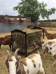 goats for sale or trade