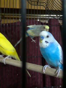 Budgie pairs for rehome