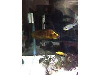 Tanagankia Gold head Kasanga wild cought fish