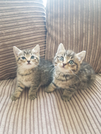 Tabby kittens - £250 each