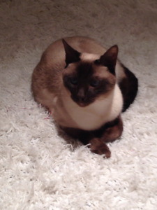 Siamese cat looking for forever home
