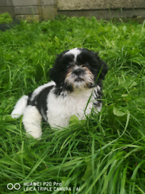 Dogs for sale in Scotland - Gumtree