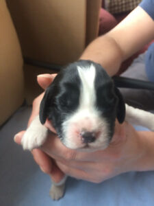 Puppies For Sale:Purebred English Springer Spaniel.They Are Here