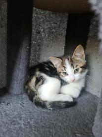 1 female kitten left