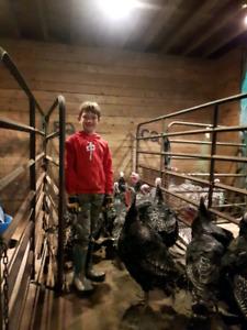 Free Range Turkeys for Thanksgiving