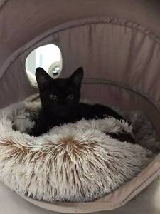Preta - sleek, affectional black cat Mascot Rockdale Area Preview