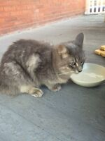 Found grey longhaired cat
