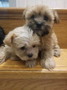 Yorkiepoo Puppies Kijiji In Ontario Buy Sell Save With
