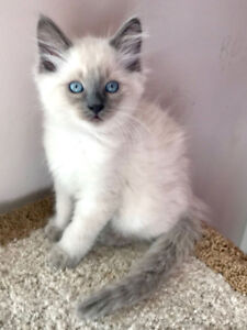 Ragdoll Kittens, hurry, only one boy left