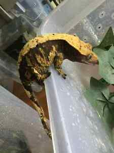 Female Crested Geckos for Sale