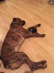 BOXER BABY URGENT HOME!!!!