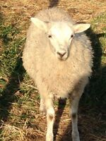 2 Lambs for sale
