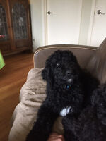 Male standard poodle puppy
