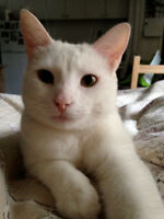 Beautiful Affectionate All-White Cat