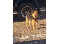 Lakeland terrier bitch