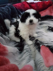 Beautiful Shih Tzu Puppies Available- 3 LEFT!