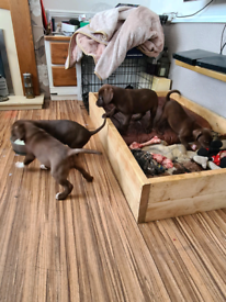 Pointer x Labrador puppies
