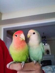 Two Lovebirds with Cage