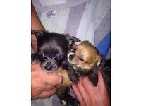Chihuahua X Yorkshire puppys