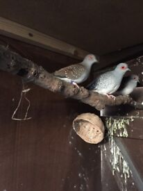 Beautiful doves and budgies for sale