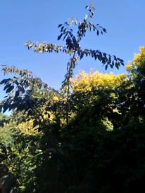 Large Cherry Tree. Tree. Garden Plants