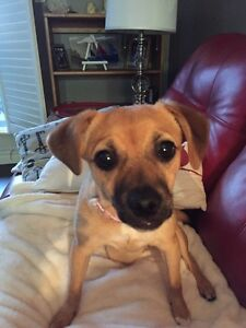 Chihuahua / Jack Russell mix