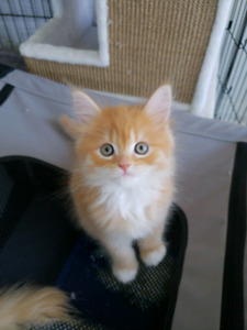 Kittens For Sale (SPECIAL BREED)