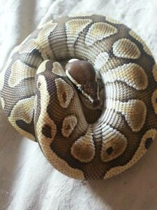 Two Different Types Of Male Ball Pythons For Sale