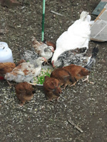 ****Sold****Laying hens and couple of roosters for sale
